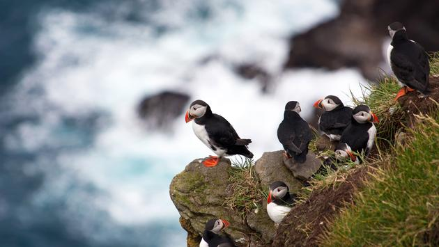 Group of atlantic puffins overlooking the sea at Mykines, Faroe Islands (photo via spumador / iStock / Getty Images Plus)