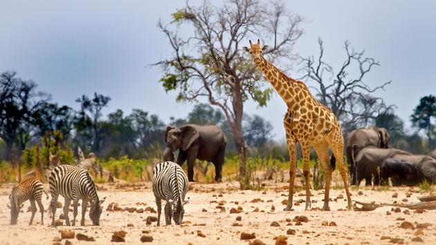 Vibrant waterhole infant of our camp In Hwange with Giraffe, Zebras and Elephants (photo via paulafrench / iStock / Getty Images Plus)