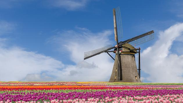 Landscape of Netherlands bouquet of tulips and windmills in Amsterdam, Netherlands.