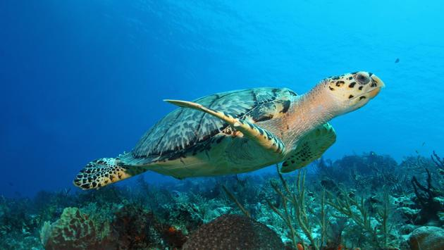 Hawksbill Turtle (Eretmochelys imbricata) swimming over a coral reef in the Gulf of Mexico - Cozumel, Mexico (Photo via BrianLasenby / iStock / Getty Images Plus)